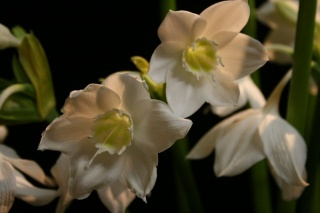eucharis_2_320